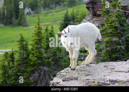 Bergziege im Glacier National Park - Stockfoto