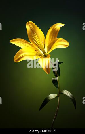 Gelbe Lilie mit Stängel und Blätter gegen grüner Hintergrund Stockfoto