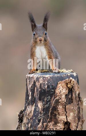 Eurasischen Eichhörnchen (Sciurus vulgaris) sitzt aufmerksam auf Baumstumpf, Tirol, Österreich - Stockfoto