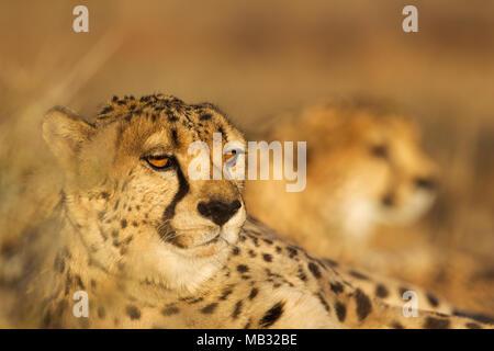 Gepard (Acinonyx jubatus), männlich, hinter einer zweiten männlichen, sich ausruhen, Abendlicht, Captive, Namibia - Stockfoto