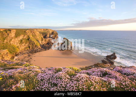 Wildblumen auf den Klippen bei Sonnenuntergang. Bedruthan Steps Cornwall Großbritannien - Stockfoto