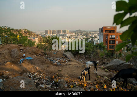 Ein paar Ziegen Kinder suchen nach Essen in eine offene Mülldeponie in Hyderabad posh Jubilee Hills Gebiet, - Stockfoto