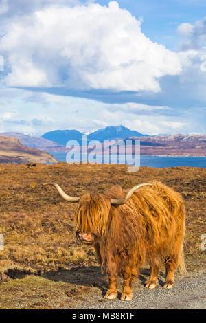 Highland rind kuh in der Landschaft auf der Isle of Skye in der Nähe von Elgol, Schottland, UK im März - Stockfoto