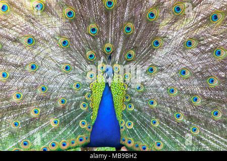Porträt einer wunderschönen Peacock mit Federn aus. - Stockfoto