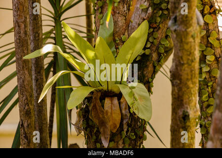 Eine kleine Vögel - nest Farn (Asplenium Nidus), die sich auf einem Baum in Malaysia wächst. Es ist eine epiphytisch Pflanze tropischen Südostasien.