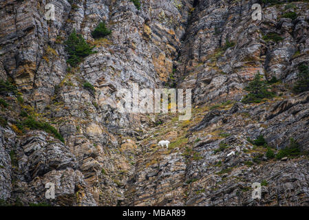 Bergziegen (Oreamnos americanus) auf steilen Berghang, Glacier NP, MT, USA, durch die Bruce Montagne/Dembinsky Foto Assoc - Stockfoto