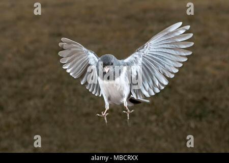 Dark-eyed Junco (Junco Hyemalis) fliegen, Ames, Iowa, USA - Stockfoto