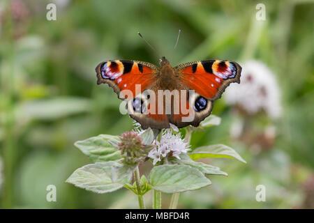 Tagpfauenauge (Nymphalis io) mit offenen Flügeln thront auf einer Blume. Tipperary, Irland - Stockfoto