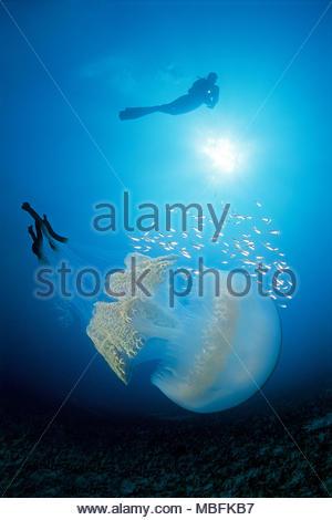 Scuba Diver und Blumenkohl Quallen (Rhizostoma Octopus), Puerto Mogan, Gran Canaria, Kanarische Inseln, Spanien - Stockfoto
