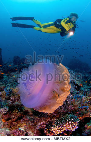 Scuba Diver und Blumenkohl Quallen oder Barrel Quallen (Netrostoma setouchina), Andaman Sea, Thailand - Stockfoto