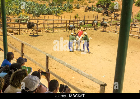 Oudtshoorn, Südafrika - Dec 29, 2013: Die Menschen während der strauße Tour an der Cango Ostrich Show Farm mit der letzten Demonstration, bei dem ein Freiwilliger Frau reitet ein Strauß. Touristenattraktion in Oudtshoorn. - Stockfoto