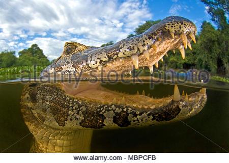 Yacare Kaimane (Caiman yacare), Split Image, Mato Grosso do Sul, Pantanal, Brasilien - Stockfoto