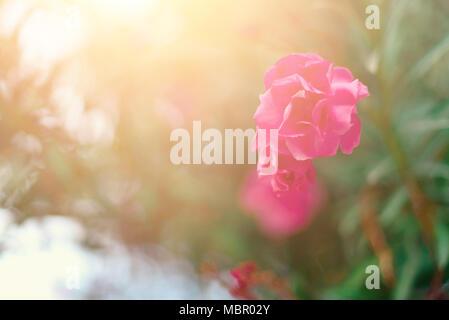 Blüte Frühling, exotischen Sommer, sonnigen Tag Konzept. Blühende rosa Blume oder Nerium oleander im Garten. Wilde Blumen in Israel. Selektive konzentrieren. Kopieren Sie Platz. - Stockfoto