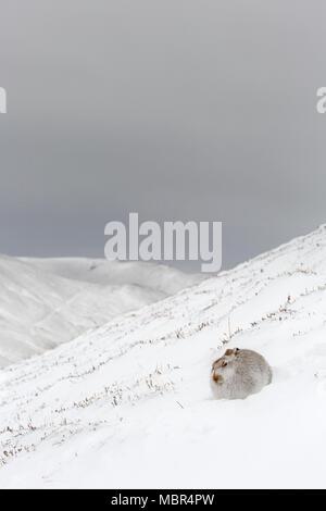 Schneehase/Alpine Hase/Schneehase (Lepus timidus) in weiß winter Fell bei Schneesturm in die schottischen Highlands, Schottland, UK ruhen - Stockfoto