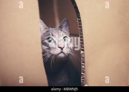 Katze schaut aus dem Schlitz Karton. - Stockfoto