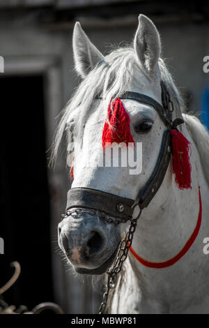 Schöne weiße Pferd Kopf auf einer ranch Nahaufnahme. Elegantes Kostüm weißen Pferd Kopf Nahaufnahme - Stockfoto