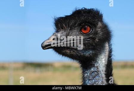 Nahaufnahme der Kopf eines Emu (Dromaius novaehollandiae) - Stockfoto