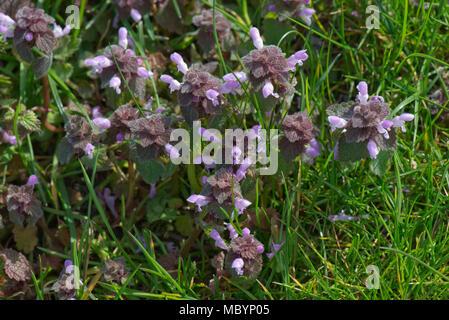 Red Dead - Brennnessel, Lamium purpureum, blühende Pflanze, Berkshire, April - Stockfoto