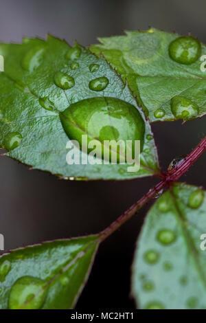 Wassertropfen auf neue Blätter im Frühling - Stockfoto