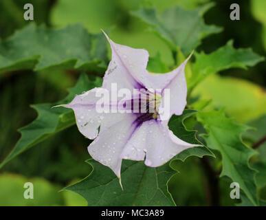 Dorn-Weed-Pflanze im Garten Stockfoto, Bild: 79083078 - Alamy