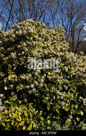 Feder flowring, duftende weiße Blüten in kompakten Köpfe schmücken die Hady immergrüner Strauch, Skimmia x confusa 'Kew Green' - Stockfoto