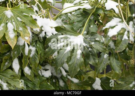 Dicke wachsartige Schutzschicht auf dunkelgrünen Blätter schützt Japanische aralia gegen Beschichtung von Schnee Stockfoto