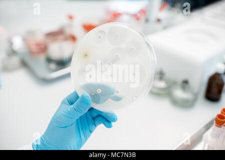 Auf die Wirkung von Antibiotika auf Bakterien in der Petrischale im Labor. Die bakteriologischen Untersuchungen - Stockfoto