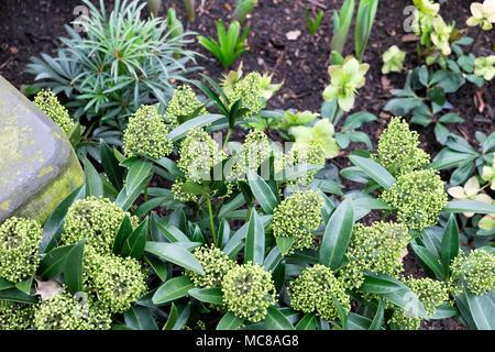 Skimmia x confusa 'Kew Green' duftenden Strauch wächst mit nieswurz im Winter ein Garten, dessen Blüten im Frühjahr London UK KATHY DEWITT Blüte - Stockfoto