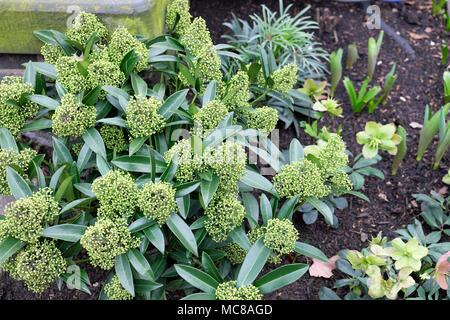 Skimmia x confusa 'Kew Green' duftenden Strauch mit geschlossenen Knospen wächst im Winter ein Garten, dessen Blüten im Frühjahr London UK KATHY DEWITT Blüte - Stockfoto