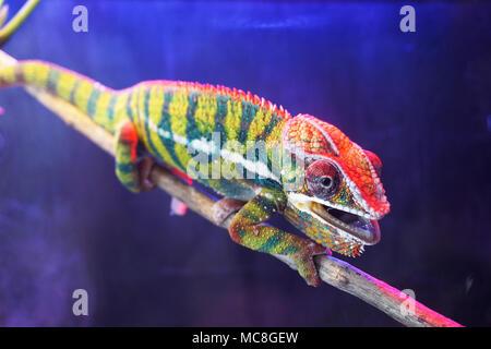 Schöne chameleon Eidechse