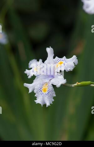 Iris japonica, Japanische gesäumten Iris Blume - Stockfoto