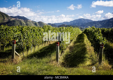 Weinberge in der Region Marlborough, Südinsel, Neuseeland - Stockfoto