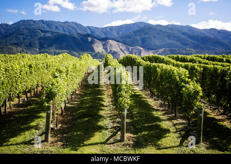 Weinberge in der Region Marlborough, Südinsel, Neuseeland - Stockfoto
