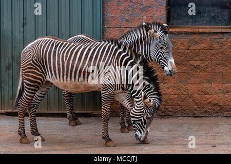Der Grevy Zebra (Equus grevyi), das auch als imperial Zebra genannt, ist das größte lebende wilden Equiden sowie der größte und am stärksten bedrohten der Drei