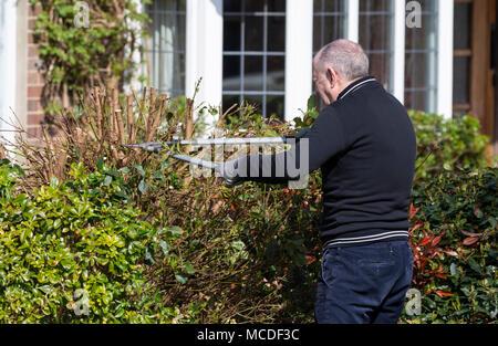 Älterer Mann trimmen eine Hecke an einem sonnigen Tag im Frühjahr in Großbritannien. Heckenschnitt und Gartenarbeit im Frühling. - Stockfoto