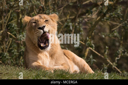 Schließen Detaillierte vorne Blick auf einzelne asiatische Löwin (Panthera leo persica) isoliert, Relaxen in der Sonne, Mund weit geöffnet, leckt ihre Lippen in Gähnen. - Stockfoto