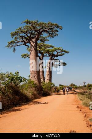 Die riesigen affenbrotbäume auf der berühmten Allee der Baobabs in Morondava, Madagaskar - Stockfoto