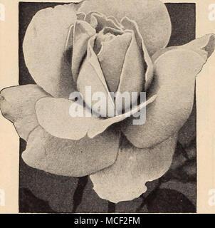 . Hinrich Gaede 18-002 Herbst. Orange, gestreift und mit rot. Knospen von mittlerer Größe, entwickelt sich schalenförmig, Doppel, duftenden Blumen von sehr attraktiven Form. 18-012 Betty XJprichard. Langen, spitzen Knospen und großen, offenen, langlebig, sehr duftende Blüten von einem zarten lachs-rosa mit Carmine rückwärts mit einem kupfernen Glanz. Kräftig, Buschig und eine üppig blühende Pflanze. 18-013 BriarcliS. Ein grosser Favorit mit großen lange Knospen und hohe, doppelte Blüten von einem leuchtenden rosa-pink leichter an den äußeren Blütenblättern. Sehr langlebige, mäßig duftend. Wirklich eine der sehr goo - Stockfoto