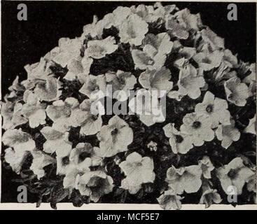 . Petunia Petunia compacta Compacta nana Nana eine neue Belastung der Petunia mit hübschen Zwerg Pflanzen, die eine kompakte Kugel bilden und somit herrliche für Topf Kultur und Rock Gardens. Auch gut für Betten und Grenzen. 3544 Rosa Edelstein. Anlagen 5 bis 6 Zoll hoch, buchstäblich mit dunkelrosa Blüten, die Maßnahme 2 Zoll im Durchmesser erstickt. Pkt. 25 c; 5 pkts. $ 1.00. 3548 Nana compacta gemischt. Diese wachsen 8 bis 10 cm hoch und 12 cm im Durchmesser. Eine ausgewogene Auswahl an erlesenen Farben. Pkt. 25 c; Spezielle pkt. 75 C. Neue doppelte Shirley Poppy® 3707 Sweet Briar. Eine der beliebtesten Farben in Shirley Poppi - Stockfoto