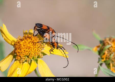 Vielzahl von Langhörnigen Käfer - in den Prozess der Paarung. Gefunden in Südtexas. Parevander hovorei oder Zagymnus clerinus. - Stockfoto