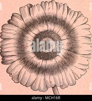 . Chrysanthemum Carinatum. ECLIPSE. Nr. 5493. Sehr auffällige, ähnelt in der Form der Blume die berühmte Chrys. Burridgeanum, sondern übertreffen - ing es stark durch seine auffällige Farben, das sind reine Goldgelb, mit einem Ijright violett-roten Ring oder auf die Mitte der Zungenblüten, die Festplatte ist dunkelbraun. Für Blüten dieser Sorte fand eine sehr wertvolle und attraktive Ergänzung. Pro Pck., 20 cts. - Stockfoto