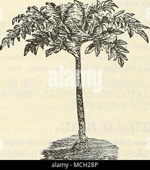 """. AMORPHOPHALLUS RIVIERI. Eine neue Ariod, von einfachen Out-door-Kultur, eine einsame Palme - wie Blatt auf eine Rose und Oliv-grün gesprenkelt Stamm, zwei bis drei Meter hoch. Die Knollen, Reifung im zweiten Jahr, produzieren Blumen wie die """"Calla Lilie; """"Die außerhalb einer ähnlichen Farbe mit dem Blatt Stängel, die Inside Deep Blut - Rot, Geädert mit Schwarz. Knollen sind im Mai gepflanzt, und hielt über Winter wie Dahlia Wurzeln. Große Knollen, 75 cts.; kleine Knollen, 25 bis 50 cts. Jedes. Neue ABUTILONS. AUGUST PASEWxLD. Eine schöne neue bunte Vielfalt, mit herzförmigen Blätter, gestromt, cremigen Gelb auf g - Stockfoto"""