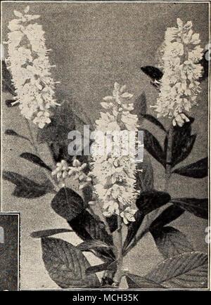 Weiße Blumen Hartriegel, Hund Holz, blumenhartriegel ...
