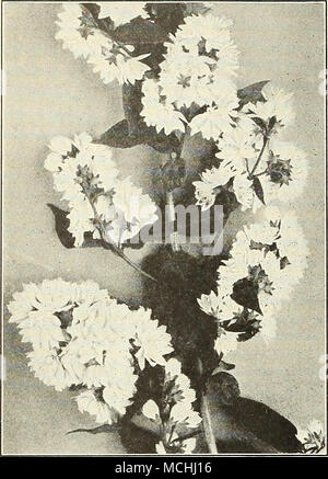Berühmt Strauch Mit Kleinen Weißen Blumen Cluster Ideen - Kleider ...