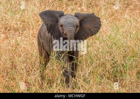 Nahaufnahme der afrikanischen Elefanten (LOXODONTA AFRICANA) KALB STEHEND IN GRAS, Tarangire Nationalpark, Tansania - Stockfoto