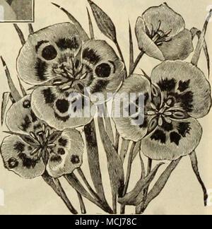 . Der CAIOrHORTI ldie Mai-blühenden Bauerngarten und Darwin Tulpen sind stark zum Schneiden geschätzt. Siehe Seiten 10 und 11.