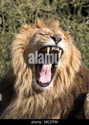 Detaillierte Nahaufnahmen von isolierten männliche Löwe (Panthera leo persica), die in der Gefangenschaft brüllen. Heftige, unheimlich, Mund weit offen, er zeigt sehr scharfe Zähne - Stockfoto