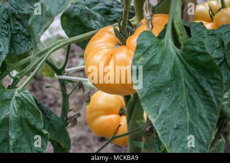 Ein Cluster von reife, gelbe Tomaten Brandywine hängen von einer Anlage in einem Hinterhof essen Garten Anfang September. - Stockfoto