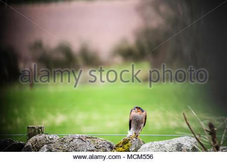 Ein männlicher Sperber (Accipiter nisus) wacht in Verfahren aus einem Garten Wand in Oxnam Dorf in den schottischen Borders. - Stockfoto
