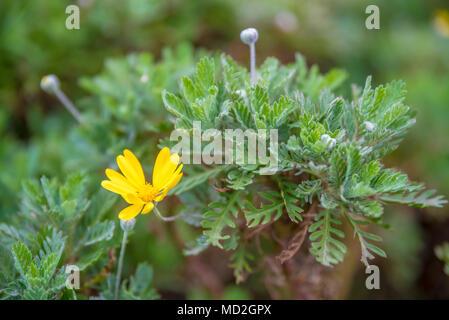 Blick von oben auf die euryops chrysanthemoides, afrikanischen Busch Daisy, neun helle Daisy Blumen auf einem Busch in voller Blüte, Blüten und einem gelben Kern in der g - Stockfoto